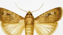 Moths Use the Earth's Magnetic Field to Navigate