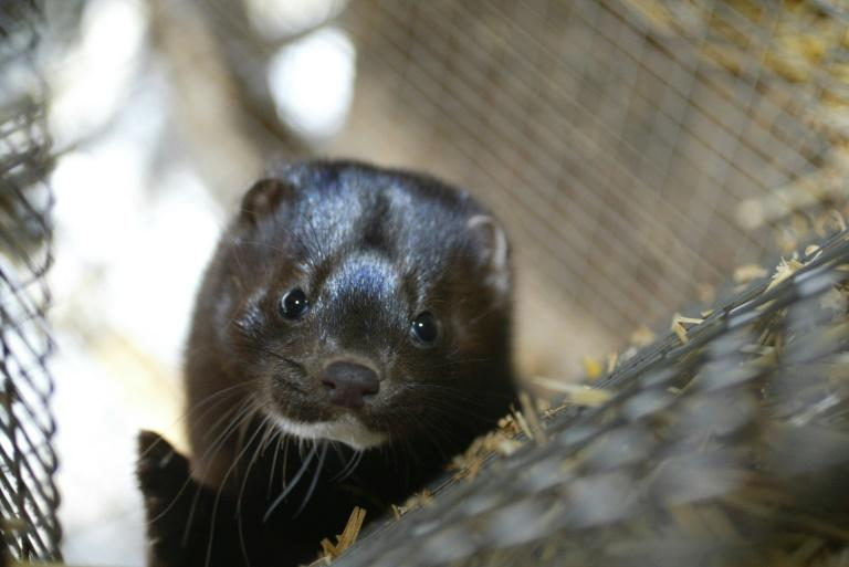 """Mink farm workers in the south of the Netherlands were believed to have contracted the coronavirus from minks, which could be the """"first known cases of animal-to-human transmission,"""" the World Health Organization had said"""