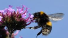 Genoma apunta a endogamia y enfermedad como causa de la disminución de  abejorros: investigación