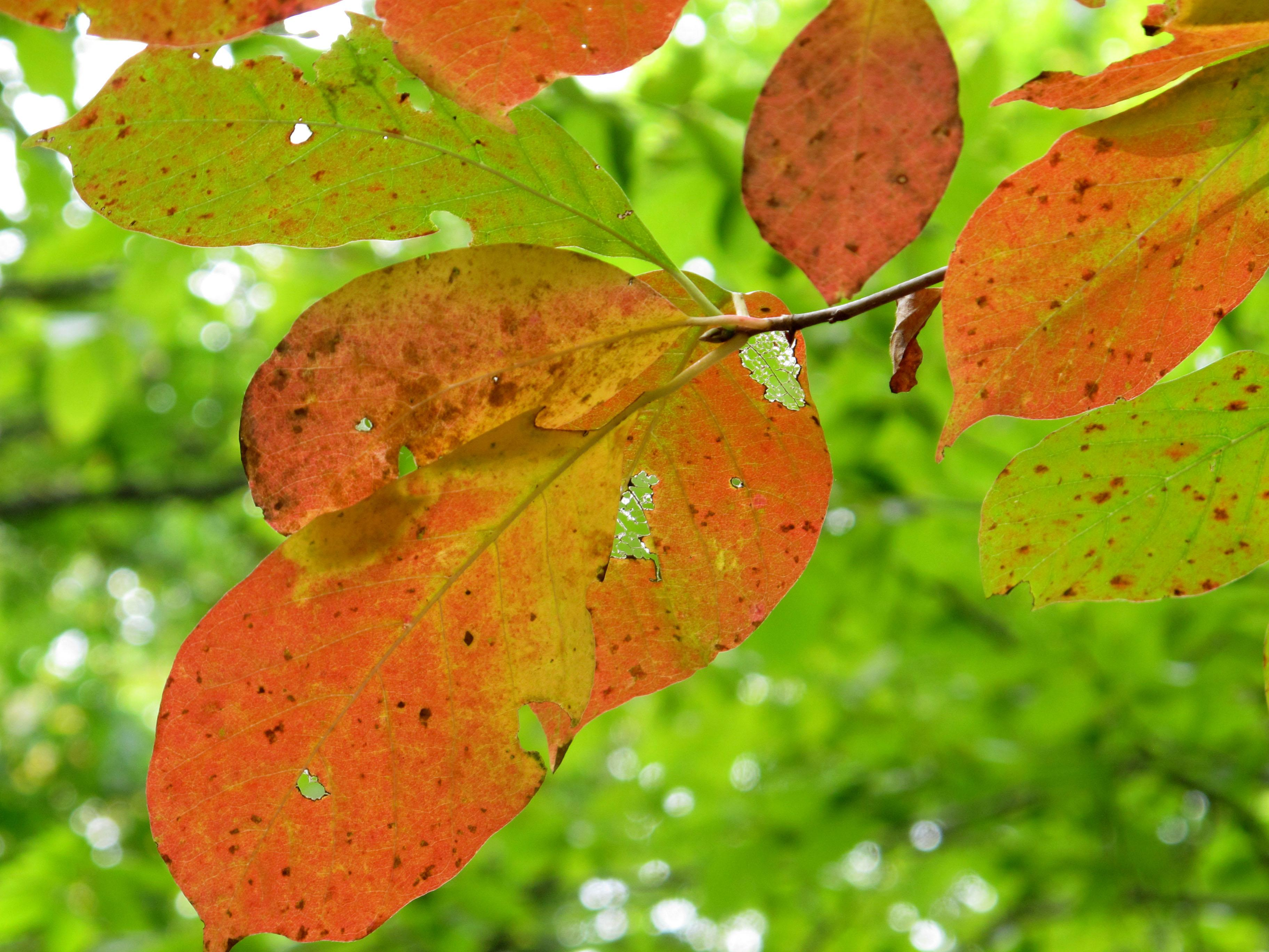 A tree displays red leaves on Sunday, Sept. 30, 2012, in Nashville, Tenn. As days get shorter and nights become chillier, the annual fall foliage show is getting under way in the Southern Appalachians. (AP Photo/Teresa Wasson)