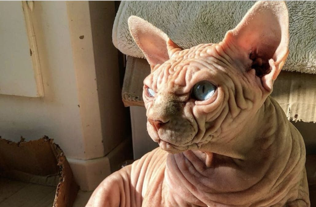 Internet falls in love with 'wrinkliest cat alive': 'He ...