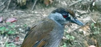 One of Asia's longest-missing birds comes out of hiding
