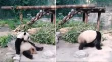 Tourists Wake Up Sleeping Panda at Chinese Zoo by Throwing Stones, Shocking Video Angers Netizens