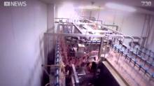 Un vídeo revela cómo un matadero de Melbourne escaldaba pollos vivos