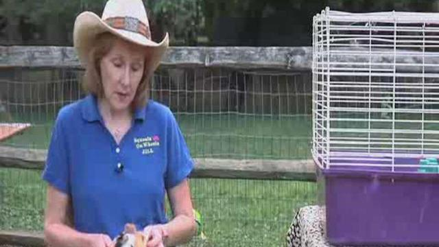 All about Guinea Pigs: Setting Up a Cage for a Guinea Pig