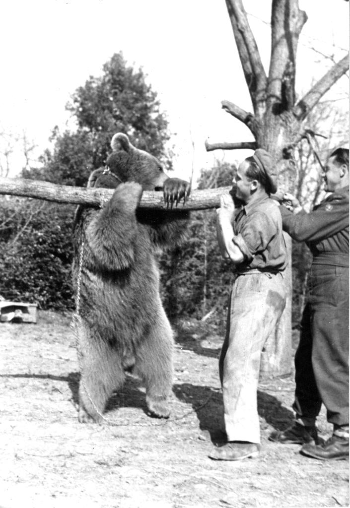 'Corporal' Wojtek the bear helps carry a tree trunk in Castrocaro, Italy on March 22, 1945. His comrades rewarded Wojtek for his efforts with honey, marmalade, beer, and snuggles (AFP Photo/Handout)