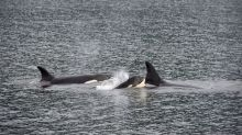 killer whales menopause research