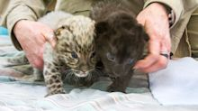 Critically Endangered (And Adorable) Leopards Born At Connecticut Zoo
