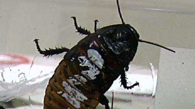 Annual 'Running of the Roaches' in Wisconsin