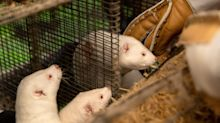 UK Bans Visitors From Denmark Over Mink Covid-19 Mutation Fears