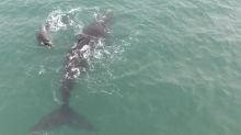 Drone films playful moment between mother whale and calf