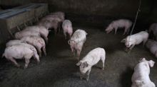 China says hog prices to rise ahead of Lunar New Year amid swine fever outbreaks