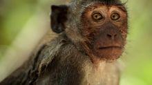 Coronavírus: macacos atacam laboratório e roubam sangue infectado na Índia