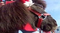 Wis. mini horse rings bell for Salvation Army