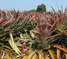 U.S., Canada hail Taiwan's 'freedom pineapples' after Chinese ban