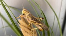 Chemical signal for locust swarming identified in step toward curbing plagues