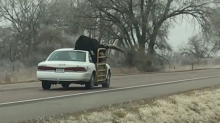 Watch as a bull is transported by car