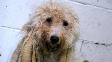 """Cachorro com """"dread"""" passa por tosa e remove mais de 2 quilos de pelos"""