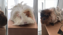 'Our mummy can't look after us any more': Guinea pigs dumped in box with heartbreaking note