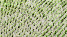 China obra el milagro: consigue cultivar arroz en el desierto de Dubái regándolo con agua de mar