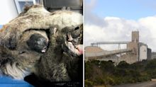 More than 100 koalas relocated from site of 'hazardous' Alcoa smelter