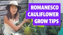 Top tips for growing a perfect romanesco cauliflower