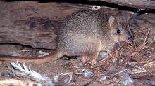 Kangaroo Rats Missing for 30 Years Rediscovered in Baja California