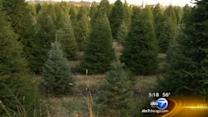 2012 Christmas tree harvest not hurt by drought