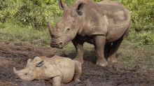 South Africa's rhino poaching drops during virus lockdown