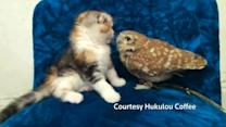 Kitten and owl become playmates in Japan