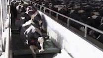 Undercover video: Cows beaten at dairy farm