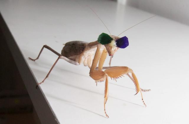 Mantises get tiny 3D glasses to test depth perception