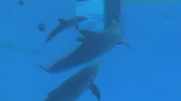 Baby dolphin calf birth captured on camera