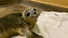 Baby seals 'orphaned' by beachgoers chasing them into sea, says RSPCA