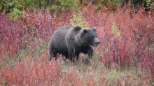 What's next for grizzly bears in Idaho, surrounding states? Managers say it's complicated