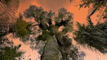 From Africa's Baobabs To America's Pines: Our Ancient Trees Are Dying.