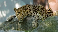 Stray Leopard Shot Dead After Three-Day Hunt In Lucknow