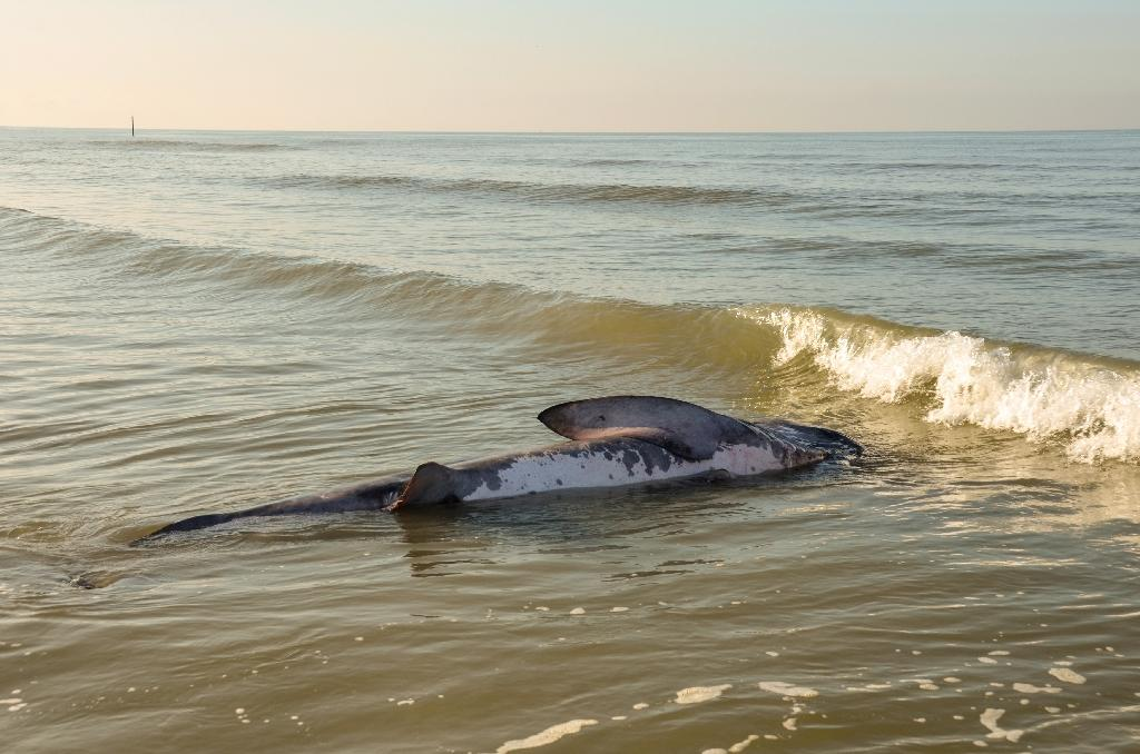 A file photo shows a dead basking shark on a North Sea beach in Belgium. It is the world's second largest fish but crucial details about its behaviour remain elusive to researchers