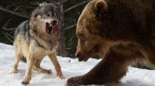In pictures: Savage stand-off caught on camera as giant grizzly bear takes on pack of wolves