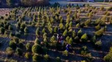 Christmas tree shortage may drive up the price of your tree this year