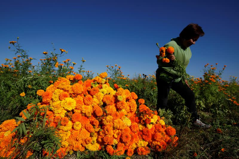 FILE PHOTO: Woman harvests Cempasuchil Marigolds to be used during Mexico's Day of the Dead celebrations in Ciudad Juarez