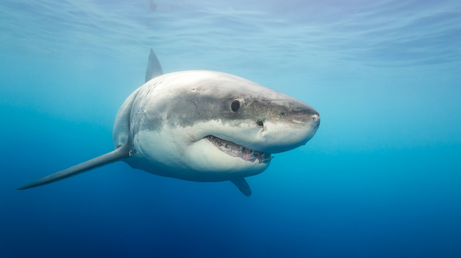 Great white shark spotted in Long Island Sound