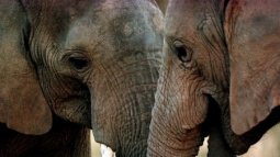 African elephant population tumbles due to poaching