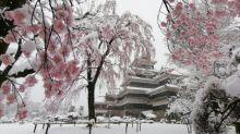 【有片】日本大量網民Twitter出超靚景 櫻花滿開加飄雪