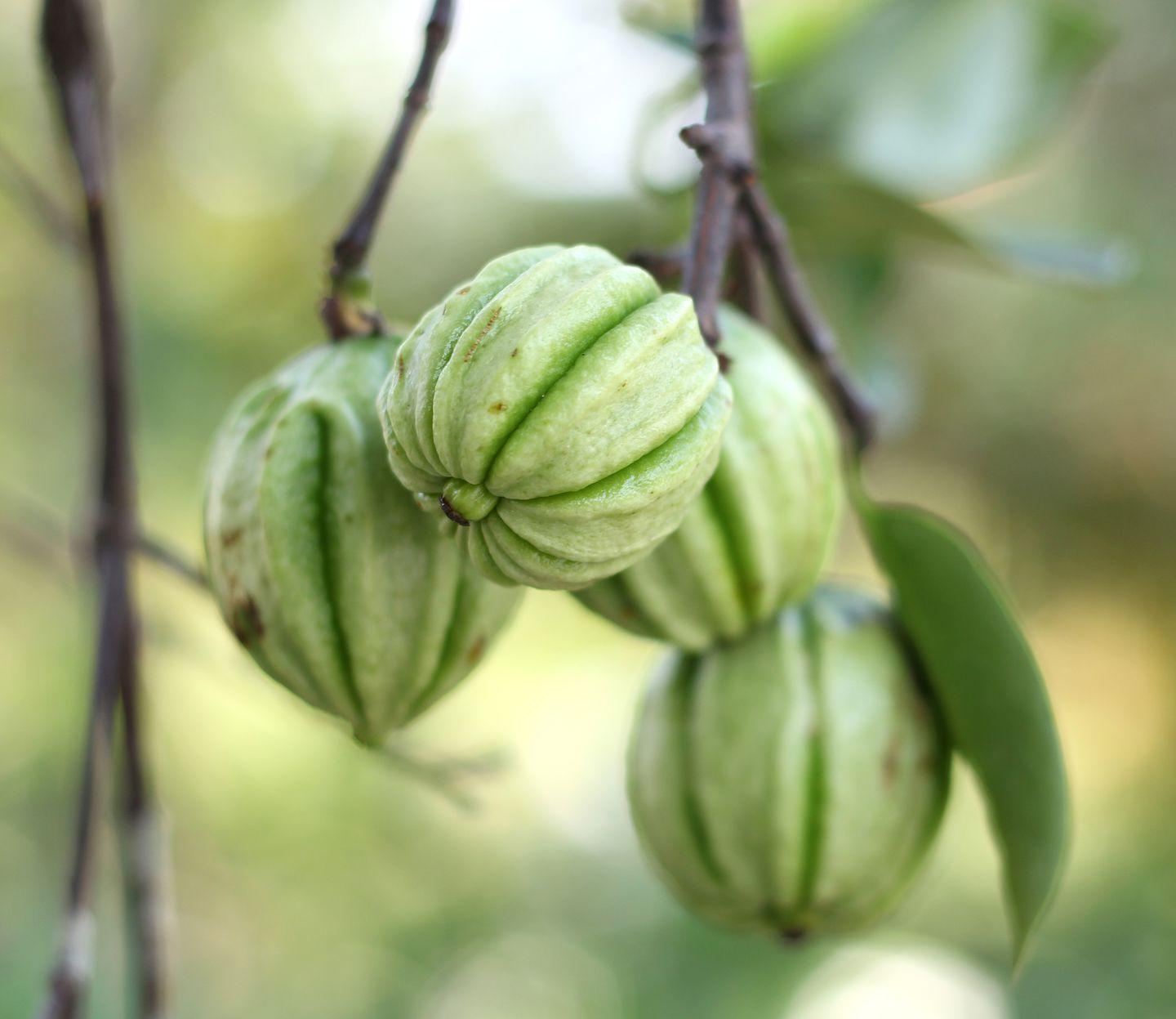 Is It Safe To Take A Garcinia Cambogia Supplement