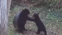 Bears Play With Backyard Tire Swing in Asheville, North Carolina