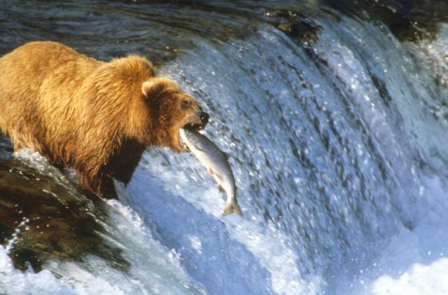 Google's 'Voyager' bear cam showcase is the best reality TV