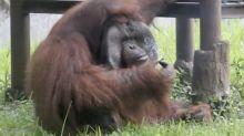 Indonésie : un orang-outan surpris en train de fumer une cigarette