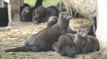 Call for coronavirus screening at mink farms