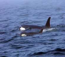 Trump officials sued over killer whales' plummeting population crisis